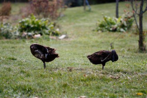7 duck 2legs
